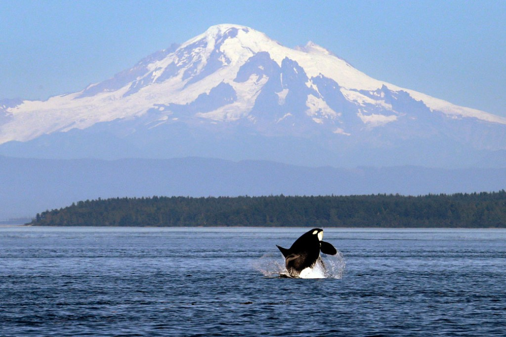 An orca whale breaches in view of Mount Baker in Washington state, July 2015.