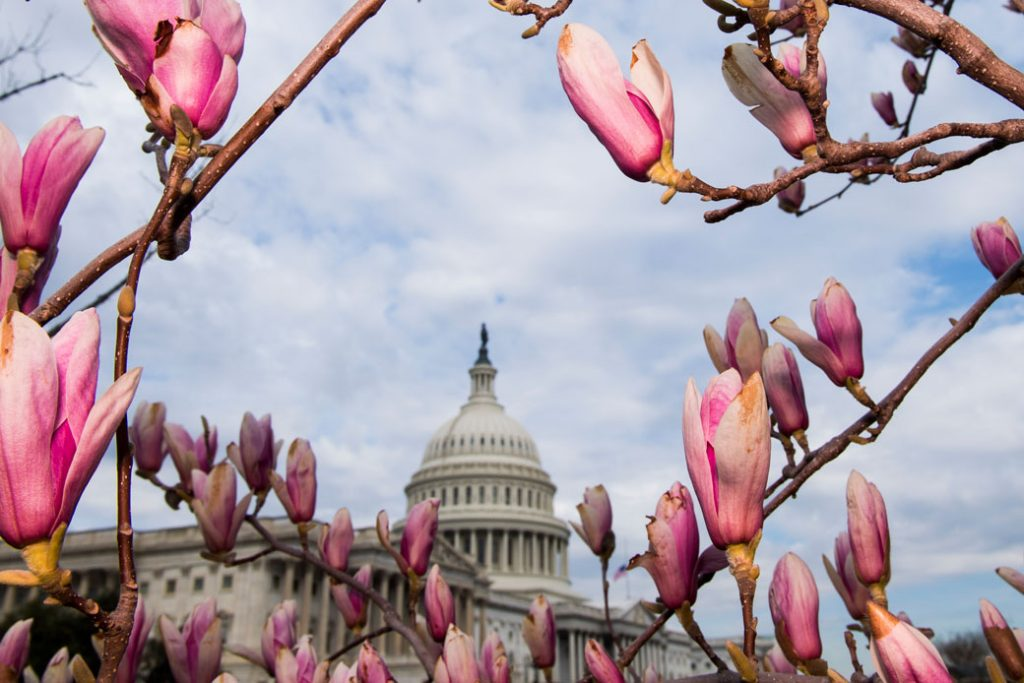 The U.S. Capitol dome is framed by the flowers of a Saucer Magnolia tree, March 19, 2018.