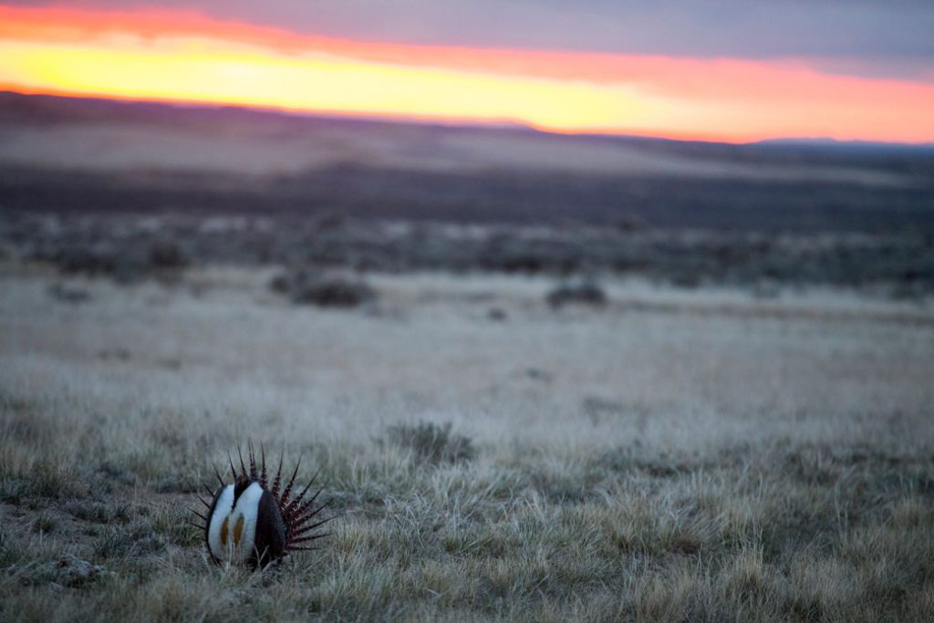 A male sage-grouse displays for females during their mating ritual at dawn in Rock Springs, Wyoming, May 2018.