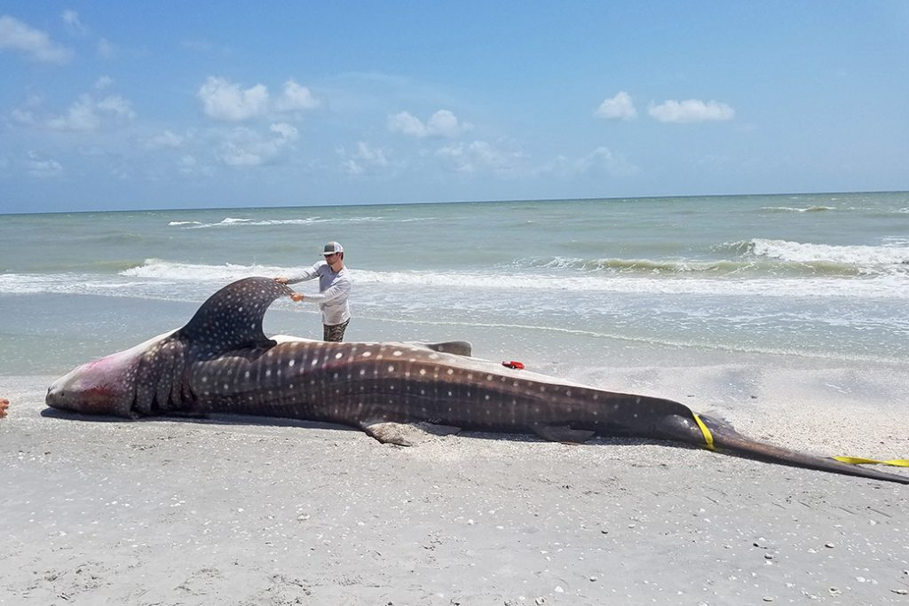 A whale shark necropsy is performed on Sanibel Island by staff from the Florida Fish and Wildlife Conservation Commission and the National Oceanic and Atmospheric Administration, July 2018.