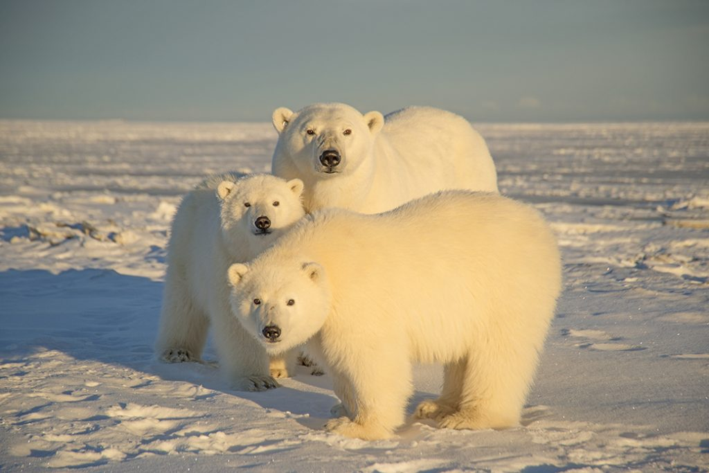 A polar bear is seen with cubs at the Arctic National Wildlife Refuge in 2014, in North Slope, Alaska.