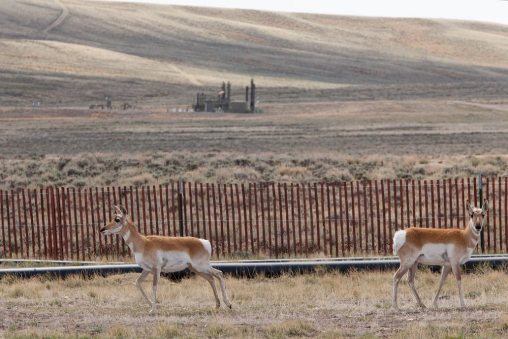 Pronghorn antelope stand near natural gas wells in Pinedale, Wyoming, May 2018.