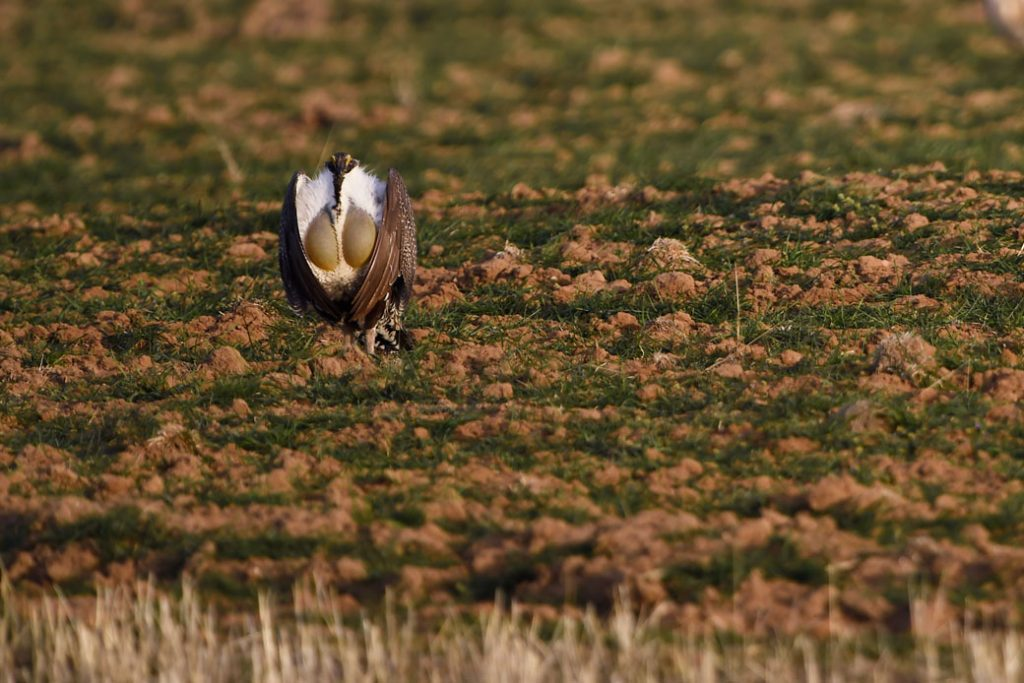 A greater sage-grouse struts on the lek during mating season in Craig, Colorado, April 2015.