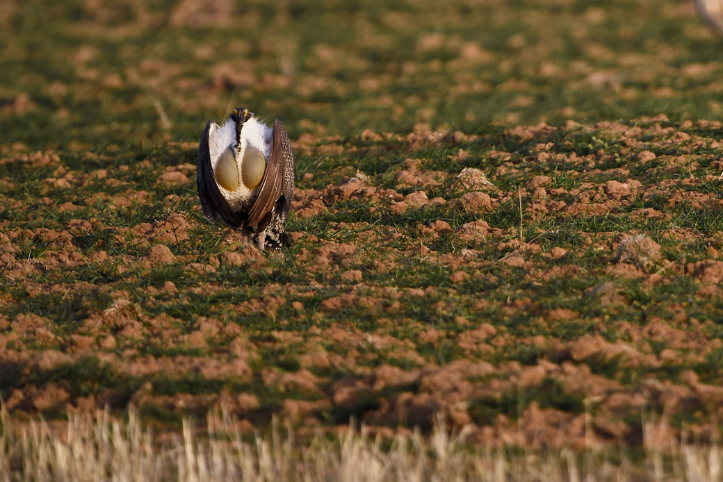 http://5%20Trump%20Administration%20Efforts%20That%20Could%20Undermine%20the%20Greater%20Sage-Grouse%20Conservation%20Strategy
