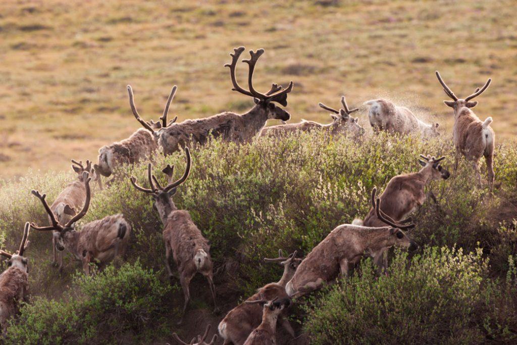 Caribou migrate through the Arctic National Wildlife Refuge in Alaska.