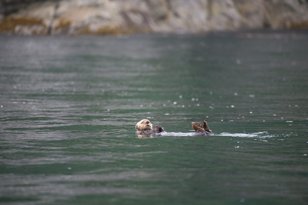 A sea otter relaxes in the ocean near George Island, off Chichagof Island in the Tongass National Forest in Alaska, January 2012.