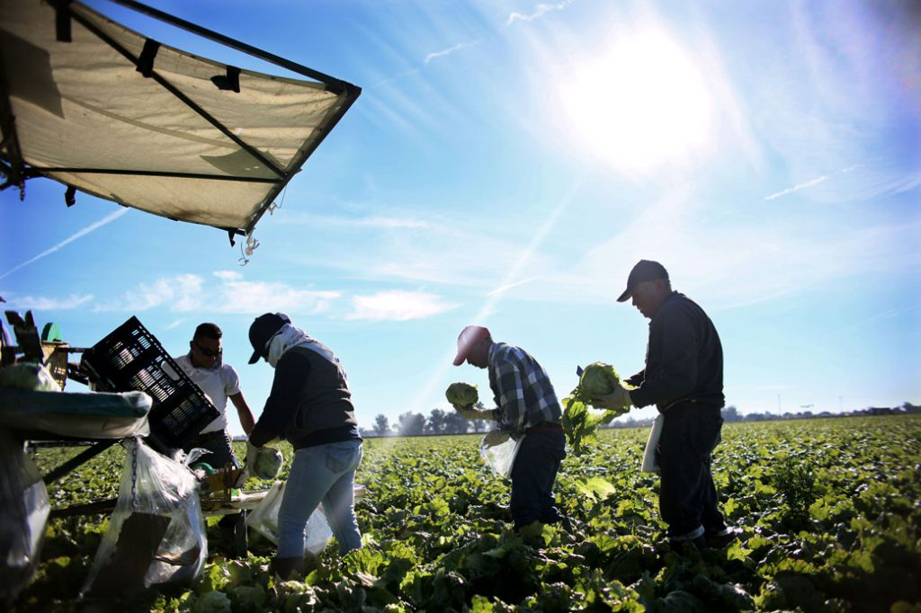 Farmworkers harvest lettuce in a field outside of Brawley, California, January 2017.
