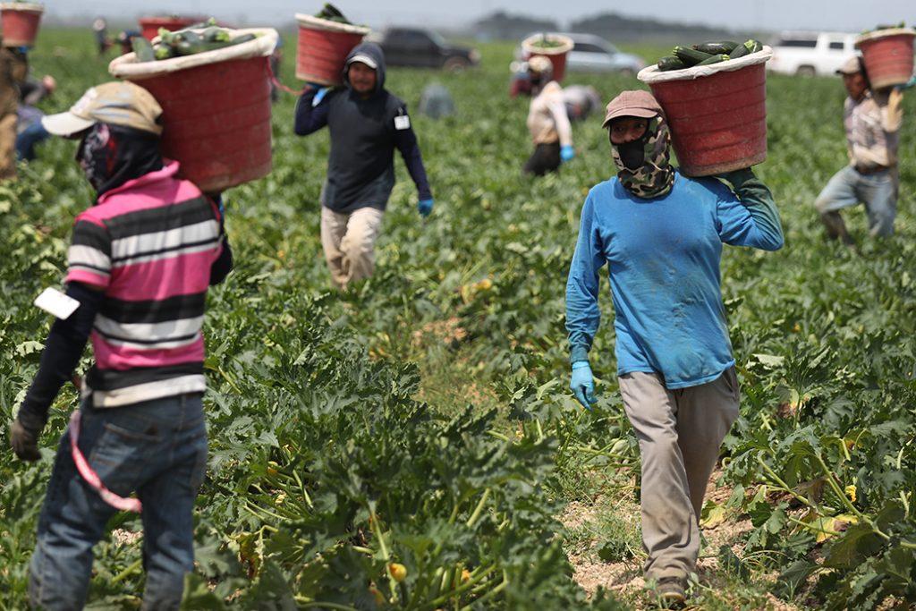 Farmworkers harvest zucchini on a farm, April 1, 2020, in Florida.