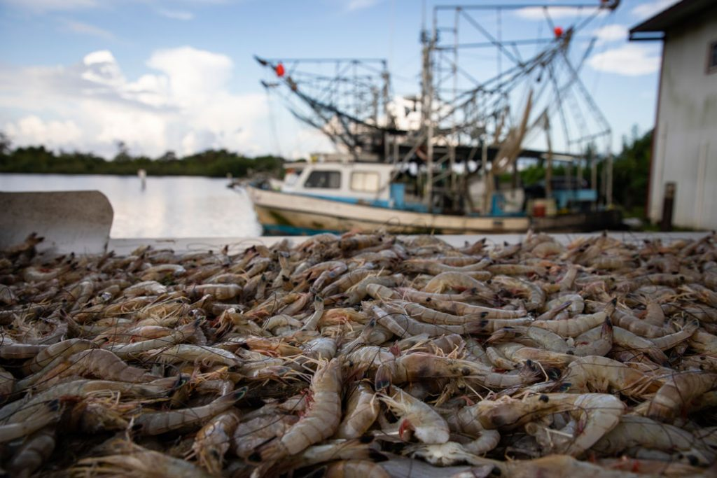 Nearly 600 pounds of shrimp are pictured on a shrimp trawler off the coast of Plaquemines Parish, Louisiana, August 2019.