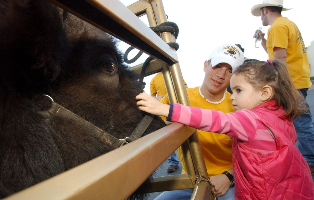 Kennedy Parker, 3,  from Pheonix, Arizona pets Ralphie IV, the Colorado Buffalo Mascot, in his pen outside the Outback Steak House in Tempe as he was on display for patrons before the 2002 Tostitos Fiesta Bowl in Tempe, Arizona this Tuesday, New Years day. Behind, Ralphie IV handler Kenny Rogers helps Kennedy pet Ralphie.(Photo by Jon Hatch/Digital First Media/Boulder Daily Camera via Getty Images)