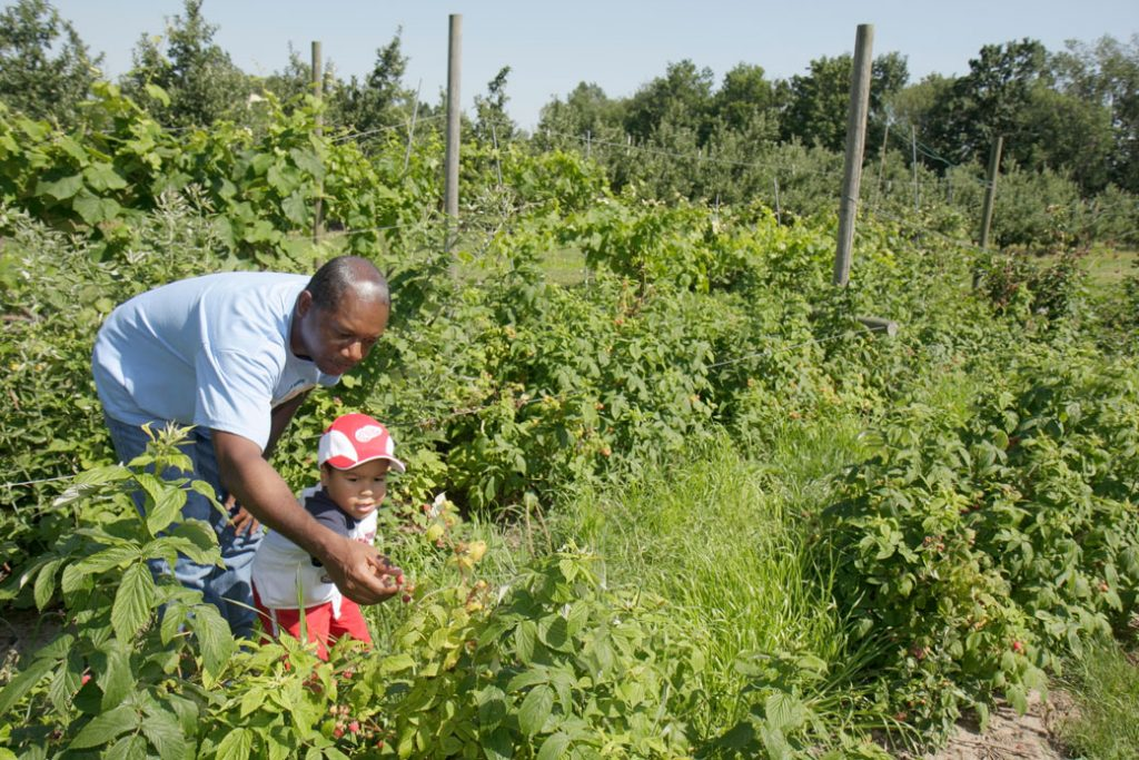 A father and son pick raspberries at an orchard in Michigan, July 2008.