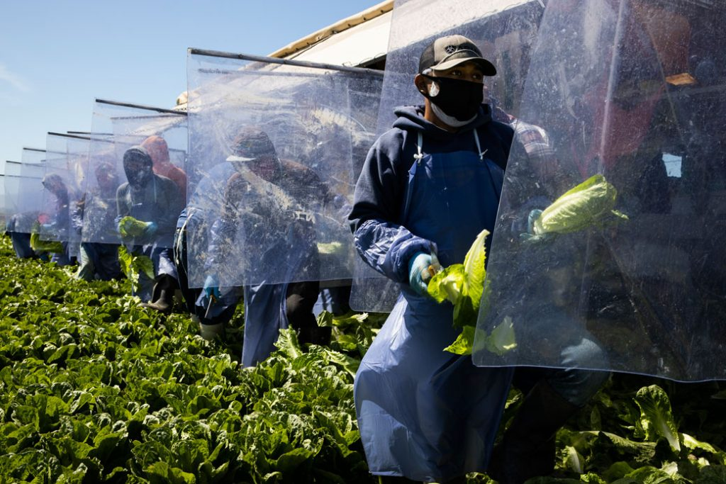 Farm laborers working with H-2A visas harvest romaine lettuce in Greenfield, California, on a machine with heavy plastic dividers that separate workers from each other, April 2020.