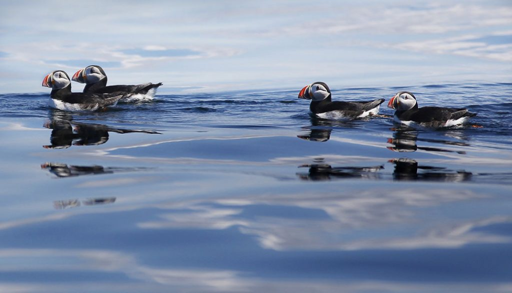 Atlantic puffins are seen on Maine's Eastern Egg Rock.
