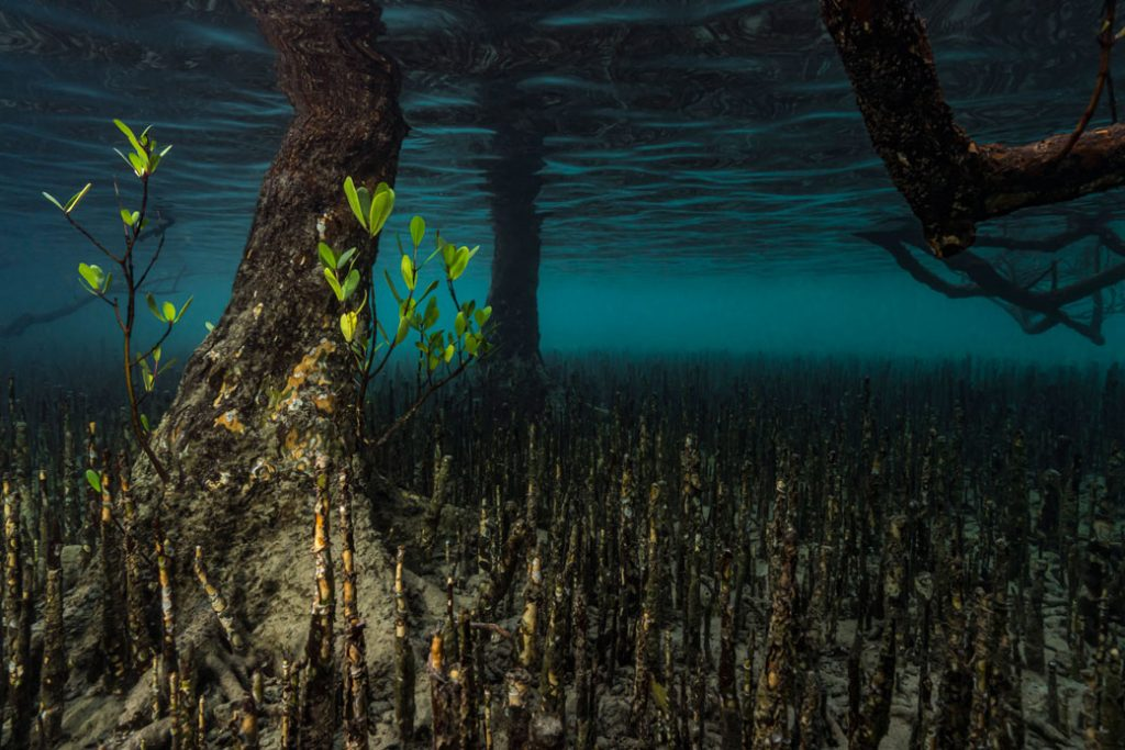 A mangrove forest is pictured underwater in Mayotte Marine Natural Park, part of the Comoros archipelago in the Indian Ocean, November 2017.
