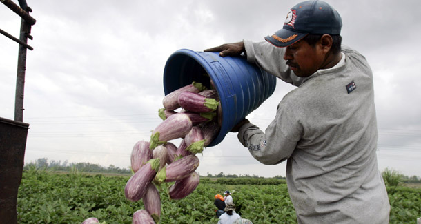 Ap Lynne Sladkyfarm Workers Unload Eggplants While Working At Green Pepper Farms In Delray Beach Fl The Supreme Court Ruled Yesterday That Immigrant