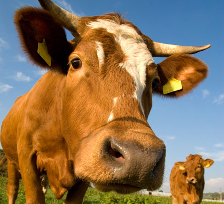 Sacred Cows Make The Best Hamburger | Sound Doctrine ... |Scared Cow