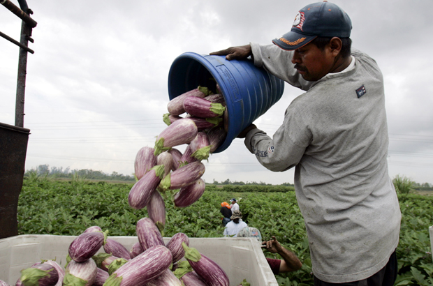 Farmworkers unload eggplants while working at Green Pepper Farms in Delray Beach, Florida.