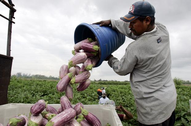 Trabajadores agrícolas descargan berenjenas mientras trabajaban en las granjas de pimiento verde en Delray Beach, Florida.