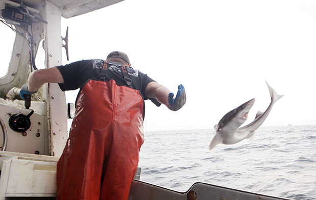 After pulling a dogfish from one of his longlines, skipper Jamie Eldredge tosses the fish onto the deck aboard his fishing vessel in the Atlantic waters off Chatham, Massachusetts in 2009.