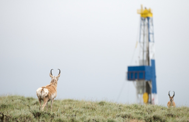 Pronghorn are seen in a field with a gas rig.