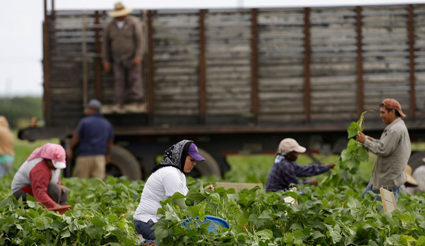 Farmworkers pick beans in a field on November 18, 2013, in Florida City, Florida.