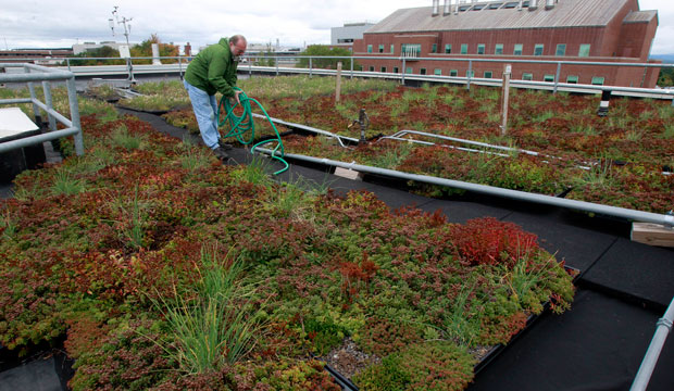 Carl Waite of the University of Vermont research staff works on the experimental green roof of the Aiken Center in Burlington, Vermont.