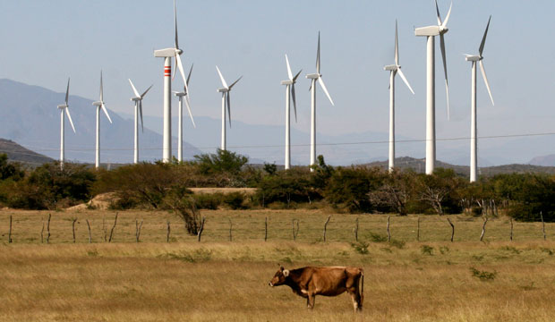 A cow grazes in front of wind turbines on the day of the inauguration of a new $550 million wind farm project in La Ventosa, Mexico.