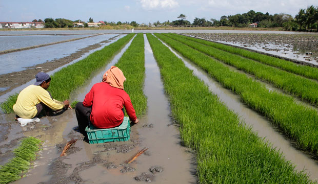 Farmers prepare rice seedlings for planting in the Philippines, where less than 10 percent of farmers have crop insurance.