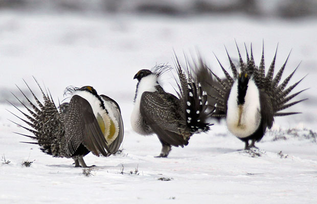 A male greater sage grouse perform mating rituals for a female grouse, not pictured, on a lake outside Walden, Colorado, in April 2013.