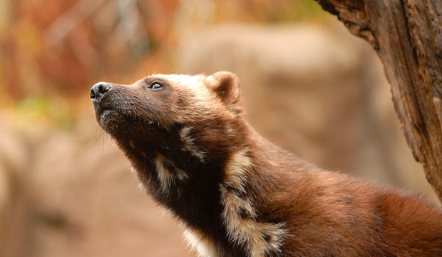 The populations of more than two-thirds of all imperiled mammal species in the United States, from the wolverine (pictured) to the polar bear, are falling.