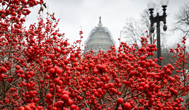 Winterberries at the U.S. Botanic Garden on Capitol Hill, December 2015.