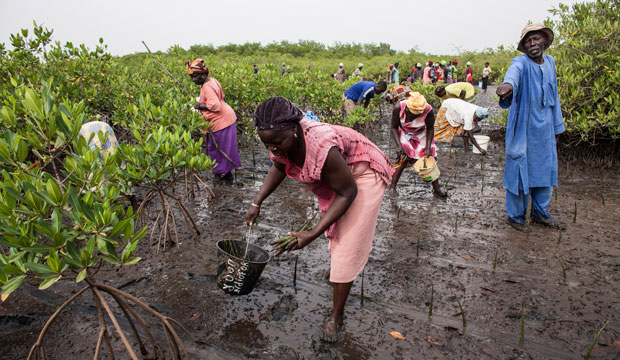 Volunteers replant mangroves in the Saloum Delta in Senegal on October 20, 2015, to protect their homes from rising sea levels and restore fish habitat.